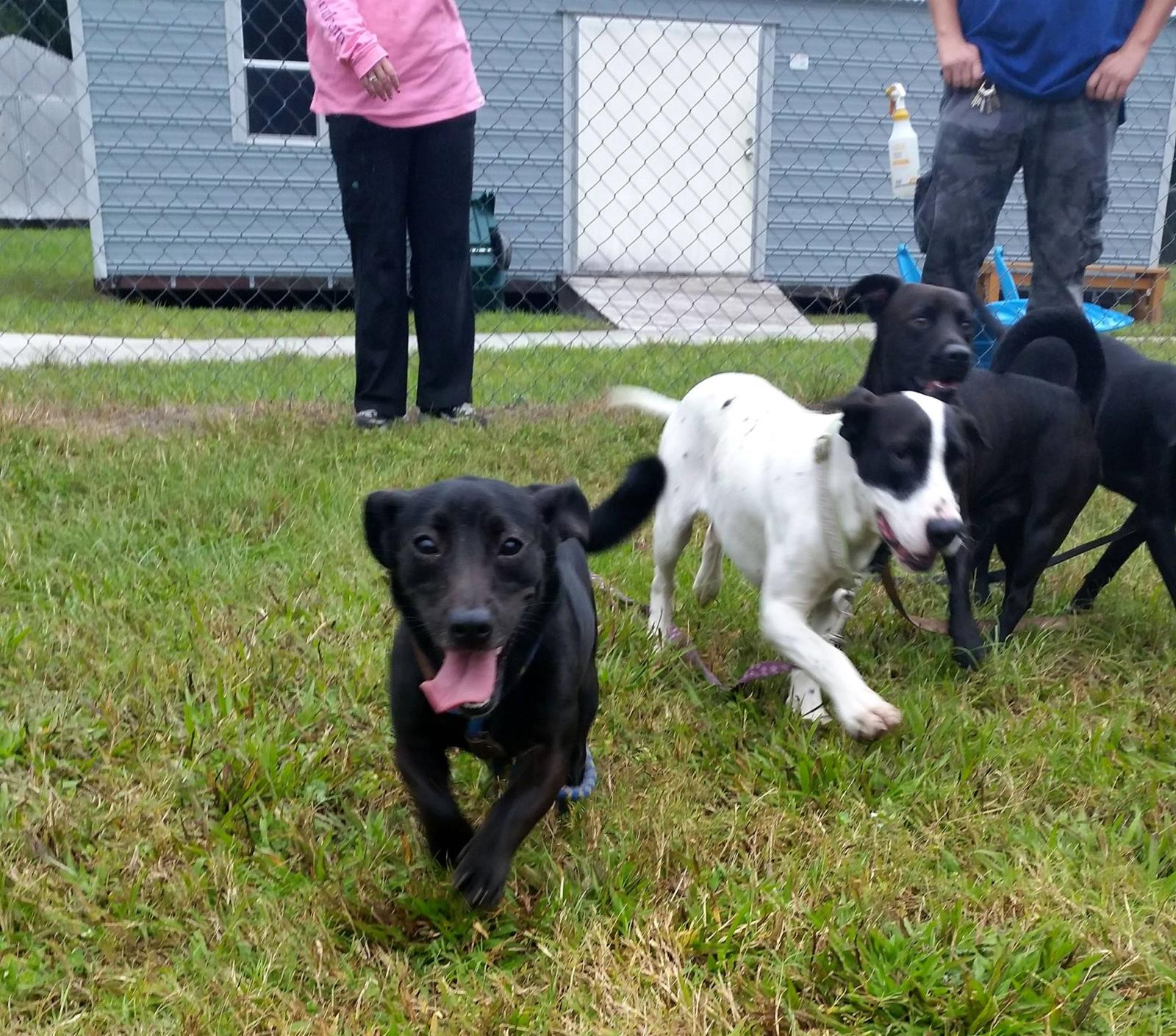 black dog, black and white dog playing in playgroup with human chaperones
