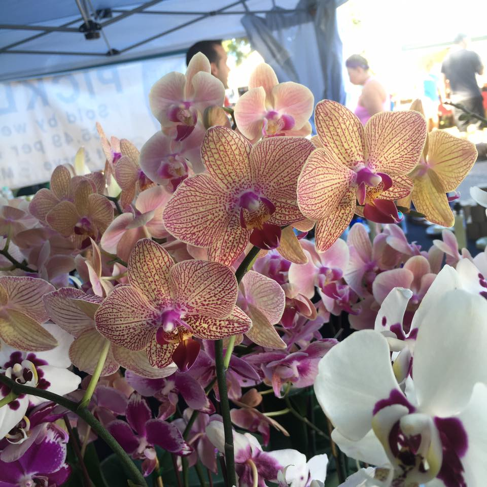 Jaxma Orchid